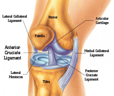Chapter-456-Anatomi-lutut