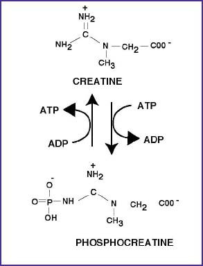 Phosphocreatine