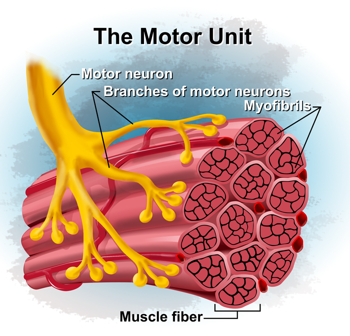 Motor-Unit
