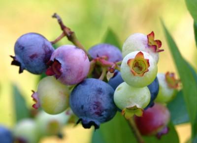 Aiman Radzi - Rendahkan Lemak Badan Dengan Blueberry