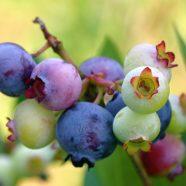 Rendahkan Lemak Badan Dengan Blueberry