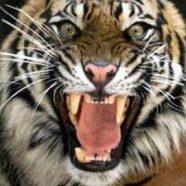 Syabas Harimau Muda!