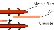 Teori Gelongsor Actin Myosin